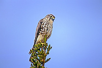 559312018 wild female merlin falco columbarius perched in a tall fir tree near whitefish lake in the northwest territories of canada