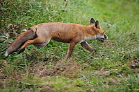 Frodesely, England, 18/09/2004..A fox runs to escape from the South Shropshire Foxhounds, led by Hunt Master Otis Ferry, on their first hunt after Parliament voted to ban hunting with dogs. Otis Ferry, the youngest Hunt Master in England, is the son of rock star Bryan Ferry, and was the leader of the group of hunt supporters who got onto the House of Commons floor during the debate to ban hunting.