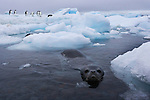 A Weddell Seal swims near an iceberg with a group of Adelie Penguins on it, Antarctica.