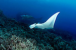 Manta Rays on the Reef, Manta birostris, (Walbaum, 1792), Kona Hawaii