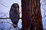 Nearly hidden on a cottonwood branch, a great gray owl perches soundlessly as it searches out prey, homing in on sounds muffled beneath the snow's surface.