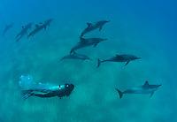 Scuba diver swimming with spinner dolphins over the south shores of Maui Hawaii.<br /> Delfines jugando y saltando en las aguas de Maui,Hawaii.
