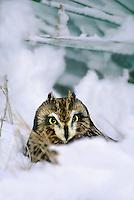 564180007 a captive wildlife rescue short-eared owl asio flammeus perches in a deep snow bank in central colorado