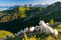 Forni di Sopra, Dolomiti Friulane, Italy, June 2011. A sheep dog guards his sheep at sunrise on the ridge above Varmost Ski area over Forni de Sopra. Dolomiti Friulane Regional Park is part of the western mountain area dominating the upper plain of Friuli. It lies between the rivers Tagliamento and Piave. The area is characterized by the wilderness of its large valleys which present nor main roads or villages and stretch among the Dolomitic peaks. Photo by Frits Meyst/Adventure4ever.com