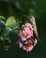 Hummer hugging a myrtle tree blossom, early morning light.