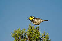 591850051 a wild male golden-cheeked warbler setophaga chrysoparia - was dendroica chrysoparia - an endangered species perches in a pine tree on mike murphy's los ebanos ranch in travis county texas united states