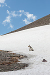 A mountain goat kneels on a snowfield near Logan Pass in Glacier National Park, Montana.