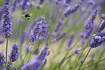 Scenes from the Lavender Festival in Sequim, WA. Thousands of people descend on the Olympic Peninsula in July for the annual Lavender Festival, held at many farms in the area.