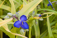 Tradescantia 'Blue and Gold' perennial plant in flower closeup with yellow foliage leaves