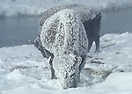 frosted bison on very cold morning near the Firehole River in the Upper Geyser Basin