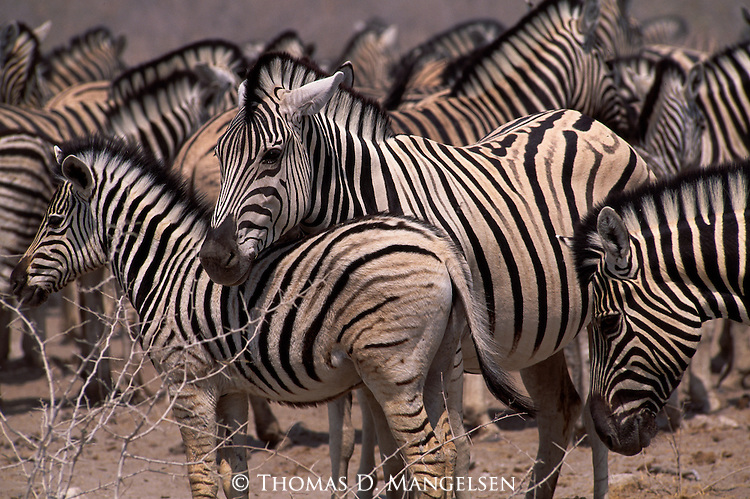 A herd of Burchell's zebra stand together.