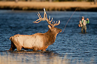 Elk in Yellowstone National Park Wyoming (Cervus canadensis)crossing river near fisherman