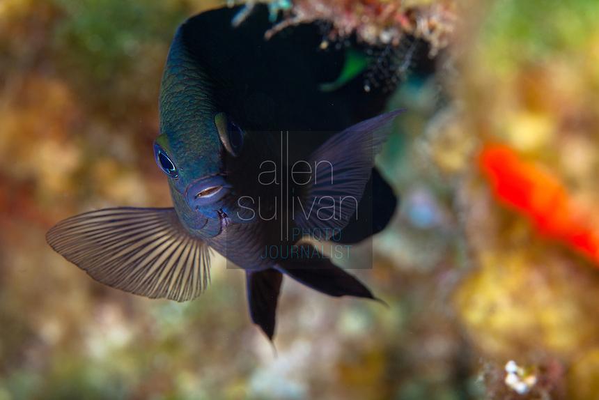 Longin damselfish (Stegastes diencaeus) at Robin's Nest dive site, Roatan, Honduras.
