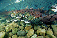 Wildlife biologists tag and release Sockeye salmon, Oncorhynchus  nerka.  Stock assessment is essential for managing fisheries in a sustainable manner, British Columbia