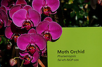 A Moth Orchid is seen during the Orchid show at the botanical garden in Bronx, New York. March 18, 2014. Photo by Eduardo MunozAlvarez/VIEW