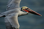 Brown Pelican (Pelecanus occidentalis),in flight