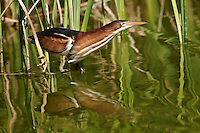 Least Bittern stretching its neck.
