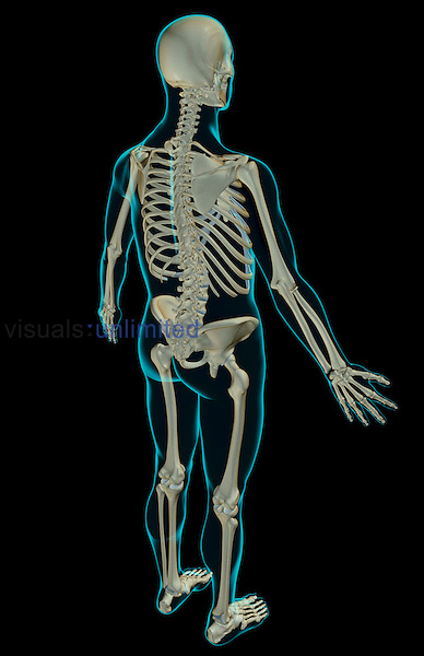 A superior posterolateral view (right side) of the skeletal system. The surface anatomy of the body is semi-transparent and tinted green. Royalty Free