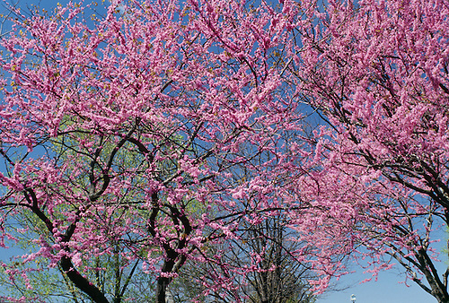 Flowering redbud trees, cercis canadensis Eastern Redbud, on sping day with blue sky