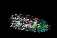 Copepod (Sapphirina)
