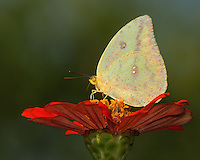 The Cloudless Sulphur (Phoebis sennae) is a small to midsized butterfly. L'Image Magazine - Nature & Wildlife Edition.