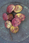 Stem of burgundy and gold discs of ripening seedheads of Honesty or Lunaria lying on tarnished metal plate