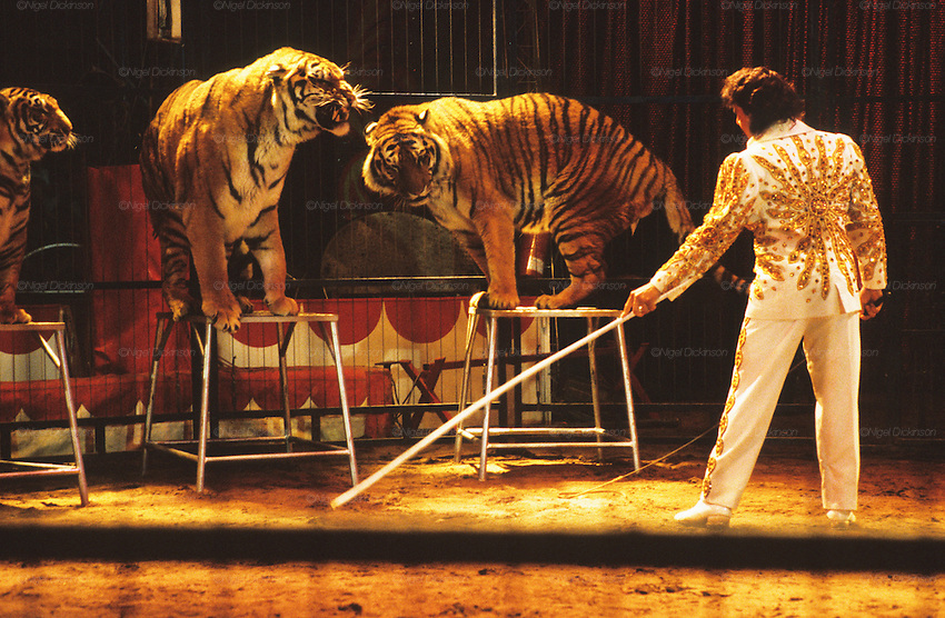 "Bengal tigers (P. tigris tigris). The largest cat species, reaching a total body length of up to 3.3 metres. Circus show during the Feria de Sevilla. Some view the use of tigers land other big cats in the circus ring as cruel and  coercive. Others enjoy watching these feline giants at close quarters. The truth behind that is there is many animals endure cruelty for human entertainment. ..The Feria de abril de Sevilla, ""Seville April Fair"" dates back to 1847. During the 1920s, the feria reached its peak and became the spectacle that it is today. It is held in the Andalusian capital of Seville in Spain. The fair generally begins two weeks after the Semana Santa, Easter Holy Week. The fair officially begins at midnight on Monday, and runs six days, ending on the following Sunday."