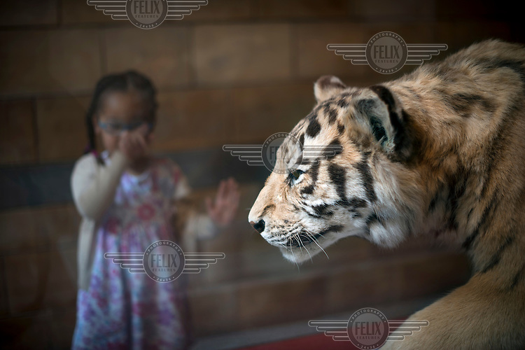 A young girl points at a stuffed tiger in a display case at the Natural History Museum in London.