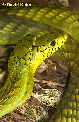 0423-1102  Mating Snakes, Pair of Western Green Mamba (West African Green Mamba) in Copulation, Dendroaspis viridis  © David Kuhn/Dwight Kuhn Photography
