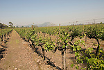 Chile Wine Country: Vineyard at Concha y Toro Winery, Vina Concha y Toro, near Santiago..Photo #: ch462-32899.Photo copyright Lee Foster, 510-549-2202, www.fostertravel.com, lee@fostertravel.com.