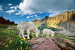 Mountain goat and kid (Oreamnos americanus)<br />