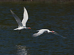 A couple of Common Terns in a pond near Lake Nokomis in South Minneapolis