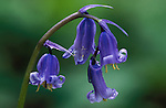 Bluebells  hyacinthoides non-scriptus, close up of bell flowerhead.United Kingdom....