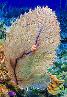 25 July 2015: A Flamingo Tongue (Cyphoma gibbosum) is seen on a Venus Sea Fan (Gorgonia flabellum) at Lemon Reef, on the North side of Grand Cayman Island. Located in the British West Indies in the Caribbean, the Cayman Islands are renowned for excellent scuba diving, snorkeling, beaches and banking.  Mandatory Credit: Ed Wolfstein Photo *** RAW (NEF) Image File Available ***