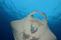 This manta ray, Manta birostris, was photographed off the Big Island, Hawaii.