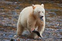 """Kermode """"Spirit"""" Bear eating a Pink Salmon"""