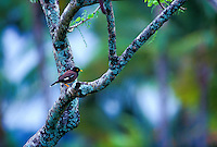 Common mynah in tree, (acridotheres tristis). Common and widespread on all main islands.
