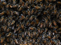 Social insect: multitude of bees in the hive