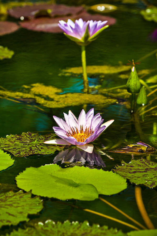 Aquatic botanical collection, water lily florals