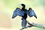 Little Cormorant, drying wings, Phalacrocorax niger, Keoladeo Ghana National Park, Rajasthan, India, formerly known as the Bharatpur Bird Sanctuary, UNESCO World Heritage Site.India....