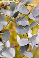 Eucalyptus gunnii Silver Drop foliage