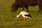 White Stork standing scratching in a grassy field filled with cattle, Overberg, Western Cape, South Africa