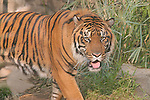 Bengal Tiger approaching through high grass.