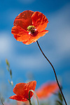 Wild, colorful poppy against the blue sky