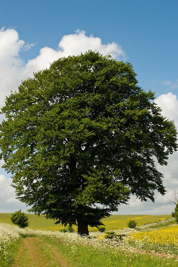 Cotswolds scenery: a beech tree on the rolling hills of the Oxfordshire Cotswolds in Spring.