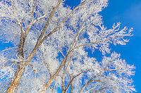 Yellowstone National Park, Wyoming: Frosted cottonwood trees against the winter blue sky