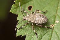 A Brown Marmorated Stink Bug (Halyomorpha halys) nymph perches on a wild raspberry leaf.