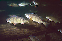 School of Yellow Perch<br />
