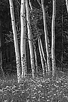 Grove of aspen trees along the road to Bear Lake in Rocky Mountain National Park.