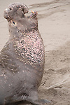 San Simeon, California; a large adult male Northern Elephant Seal (Mirounga angustirostris) rests and vocalizes on the sandy beach after a tiring trek to his current location, creating a pattern in the sand behind him